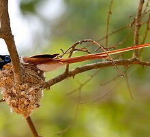 Asian Paradise-flycatcher on Nest by Neil Bygrave (NATURELENS)