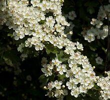 hawthorn blossom by David Ford Honeybeez photo