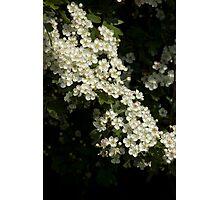 hawthorn blossom Photographic Print