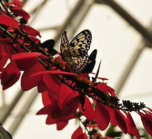 Butterflies on red flowers by Rena Neal