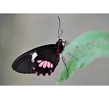 Resting butterfly  Photographic Print