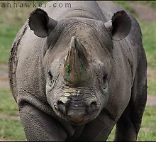 Black Rhino 01 by Alannah Hawker