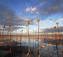 Mangrove plantation by Tim Edmonds