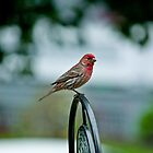 House Finch on the Shephard's Hook by Ryan Conners