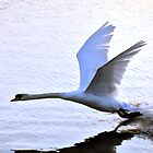 Swan comes to rest on the water by newbeltane