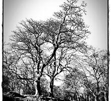 The Trees At  Stobo Castle. by Aj Finan