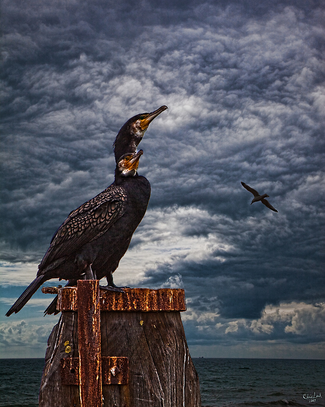 Cormorant Couple by Chris Lord