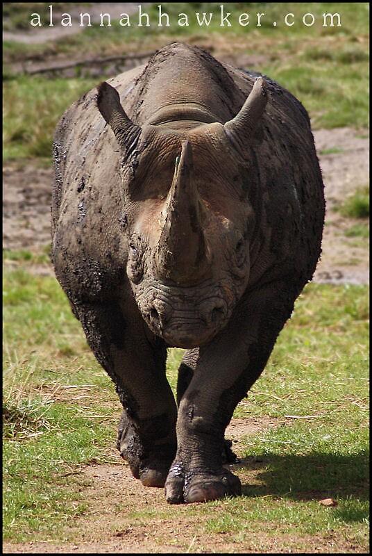 Black Rhino 02 by Alannah Hawker