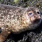 Wild Seal Up Close II by Claire Tennant