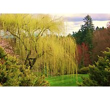 Weeping Tree Photographic Print