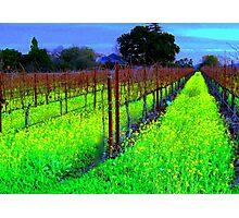 Vineyard 2, Alexander Valley, California Photographic Print