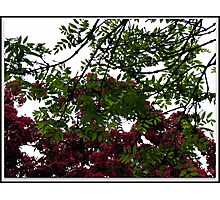 Red Tree Blossoms in Drop Shadow Frame Photographic Print