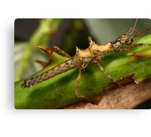 stick insect Canvas Print