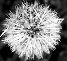 Close- Up of Dandelion by toshiaanderson