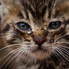 Kitten by Luís Lajas
