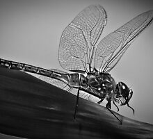 Dragonfly 2 by Craig Hender