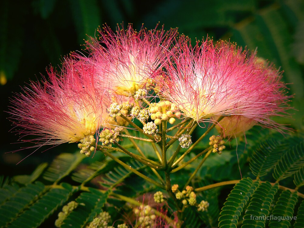 red mimosa flower hd - photo #9