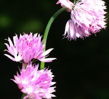 Chive Flowers-Orton by Fay270