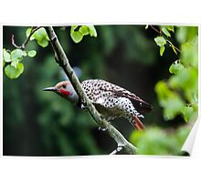 Northern Flicker - Colaptes auratus Poster