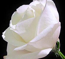 Heavenly Rose by Sviatlana