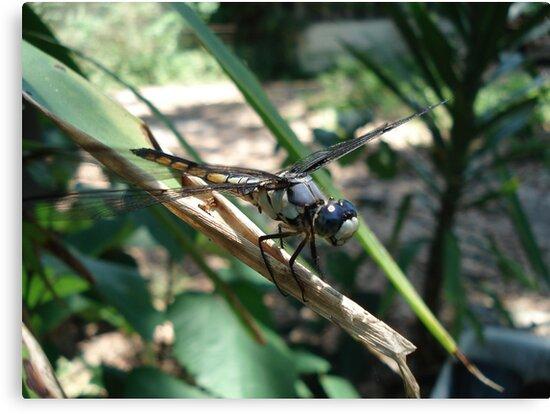 One very jazzy dragonfly... by May Lattanzio