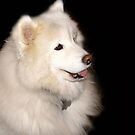 Samoyed by Maureen Bloesch