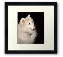 Samoyed Framed Print