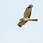 Northern Harrier (Male) by Bill McMullen