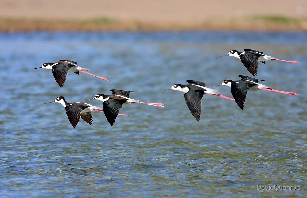 Black-necked Stilts by DavidQuanrud