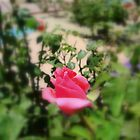 THIS IS NOT JUST A ROSE..IT IS MY GARDEN ROSE LOL by Sherri     Nicholas