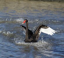 Black Swan Landing- Berwick Fields- Victoria by Reneefroggy
