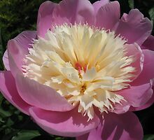 Desert Cup Peony by MarianBendeth