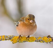 Fluffed up Chaffinch by Janika