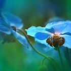Blue Poppy by Mikeinbc1