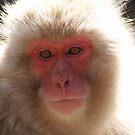 Japanese Snow Monkey- Jigokudani Yaen-Koen by Melissa Pearson