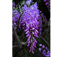 Blooming Wisteria Photographic Print
