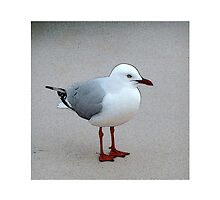 Silver Gull by hartpix