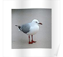 Silver Gull Poster