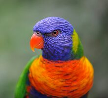 Bright Eyes - rainbow lorikeet by Jenny Dean