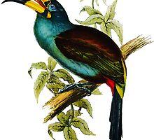 Grey-breasted Mountain-toucan (Andigena hypoglauca) by marmur