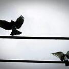 Pigeons by meredith brown