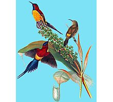 The Mrs. Gould's sunbird (Aethopyga gouldiae) Photographic Print