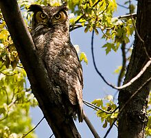 Great Horned Owl (adult) by Matthew Hebert
