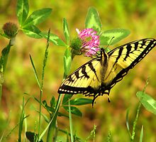 Butterfly in Red Clover by Patty Gross