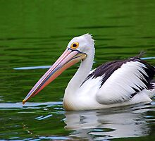 Australian Pelican by Charuhas  Images