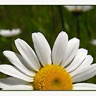 Daisy Rising by bicyclegirl