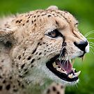 Snarling Cheetah - Wildlife Heritage Foundation by Nick Tsiatinis