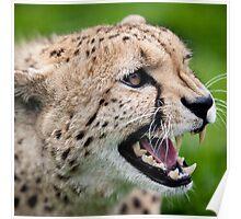 Snarling Cheetah - Wildlife Heritage Foundation Poster