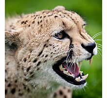 Snarling Cheetah - Wildlife Heritage Foundation Photographic Print