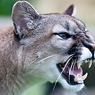 Snarling Puma - Wildlife Heritage Foundation by Nick Tsiatinis
